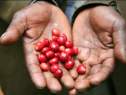 Hands holding Ethiopia Coffee Cherries.