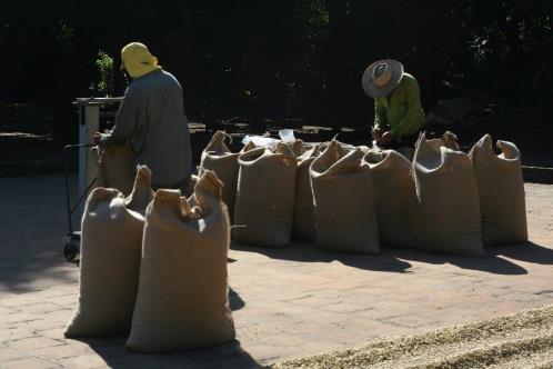 El Salvador Coffee Farmer Bagging Coffee